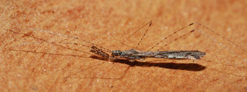 Reduviidae: Empicoris mediterraneus (cf) di Ostia (RM)