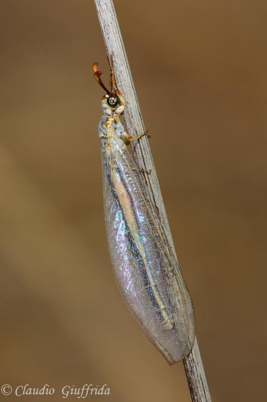 Myrmeleon hyalinus distinguendus
