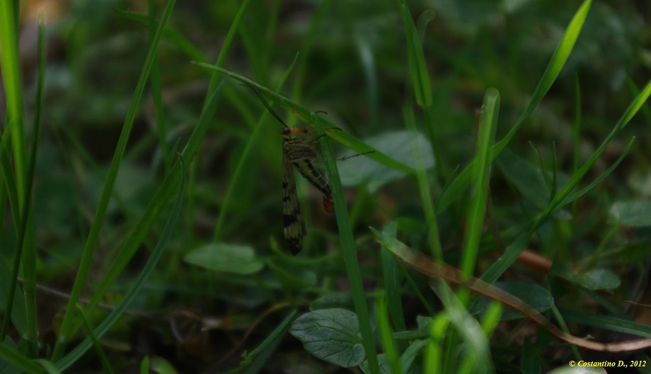 Mecoptera in Cilento: maschio di Panorpa gr. cognata