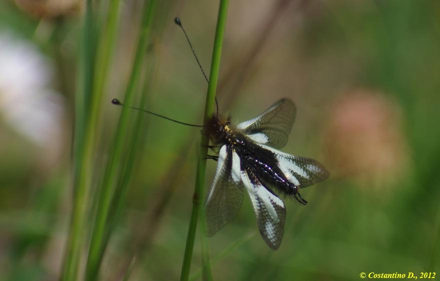 maschio di Libelloides coccajus forma bianca