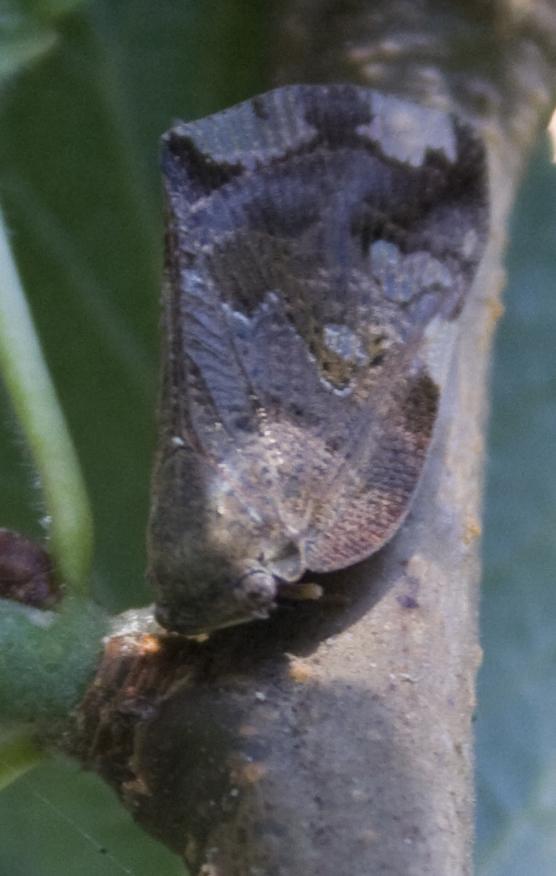 Aiuto Identificazione....Fam. Ricaniidae: Ricania speculum