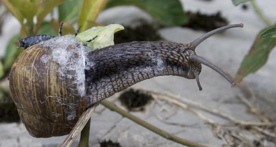 Predazione- Larva di Carabus su Helix pomatia