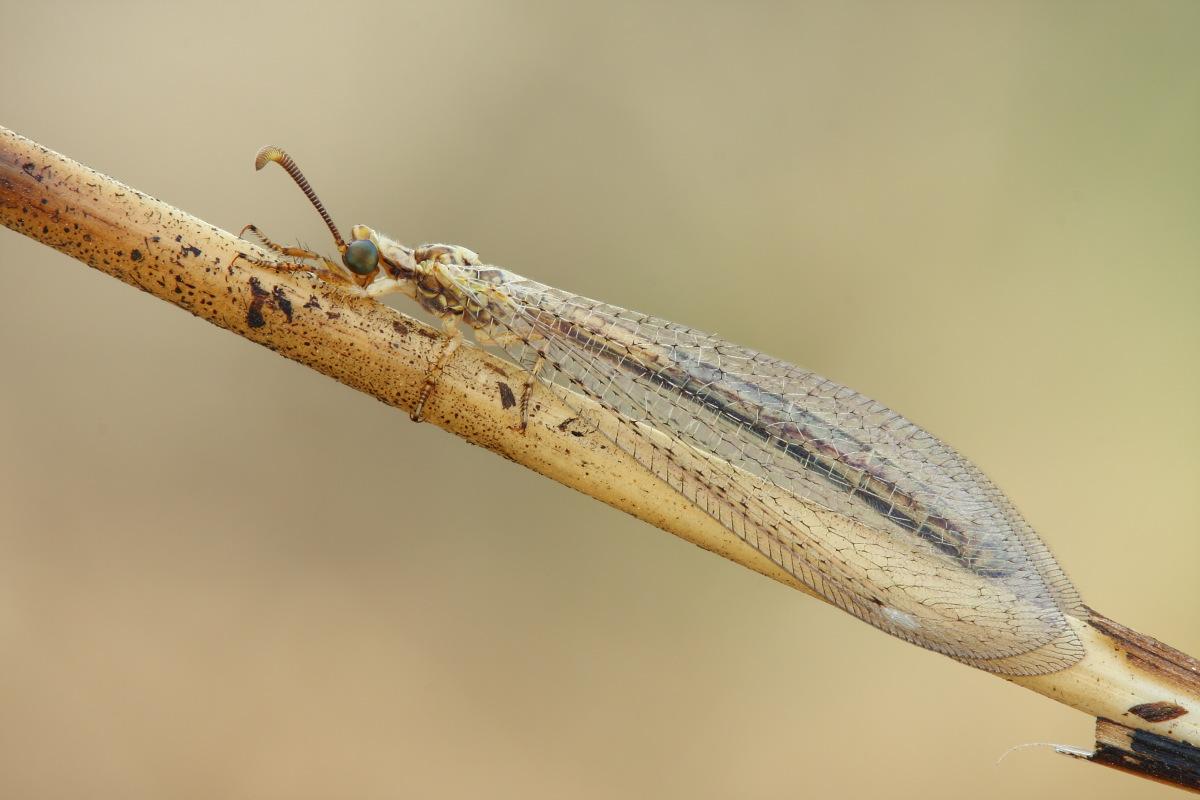 femmina di Macronemurus appendiculatus
