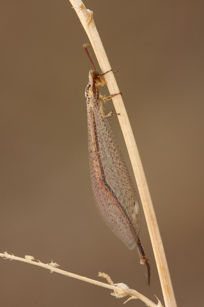 Macronemurus appendiculatus maschio?