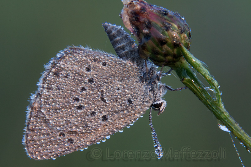 Altra determinazione Lycaenidae