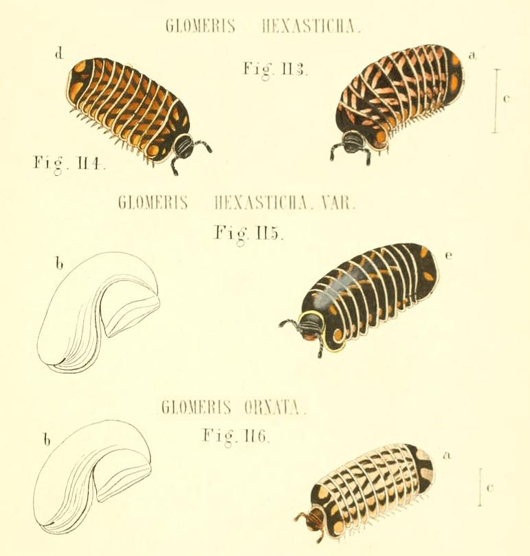 TAVOLE SUI GLOMERIS - C.L. Koch, 1863 e R. Hoess, 2000
