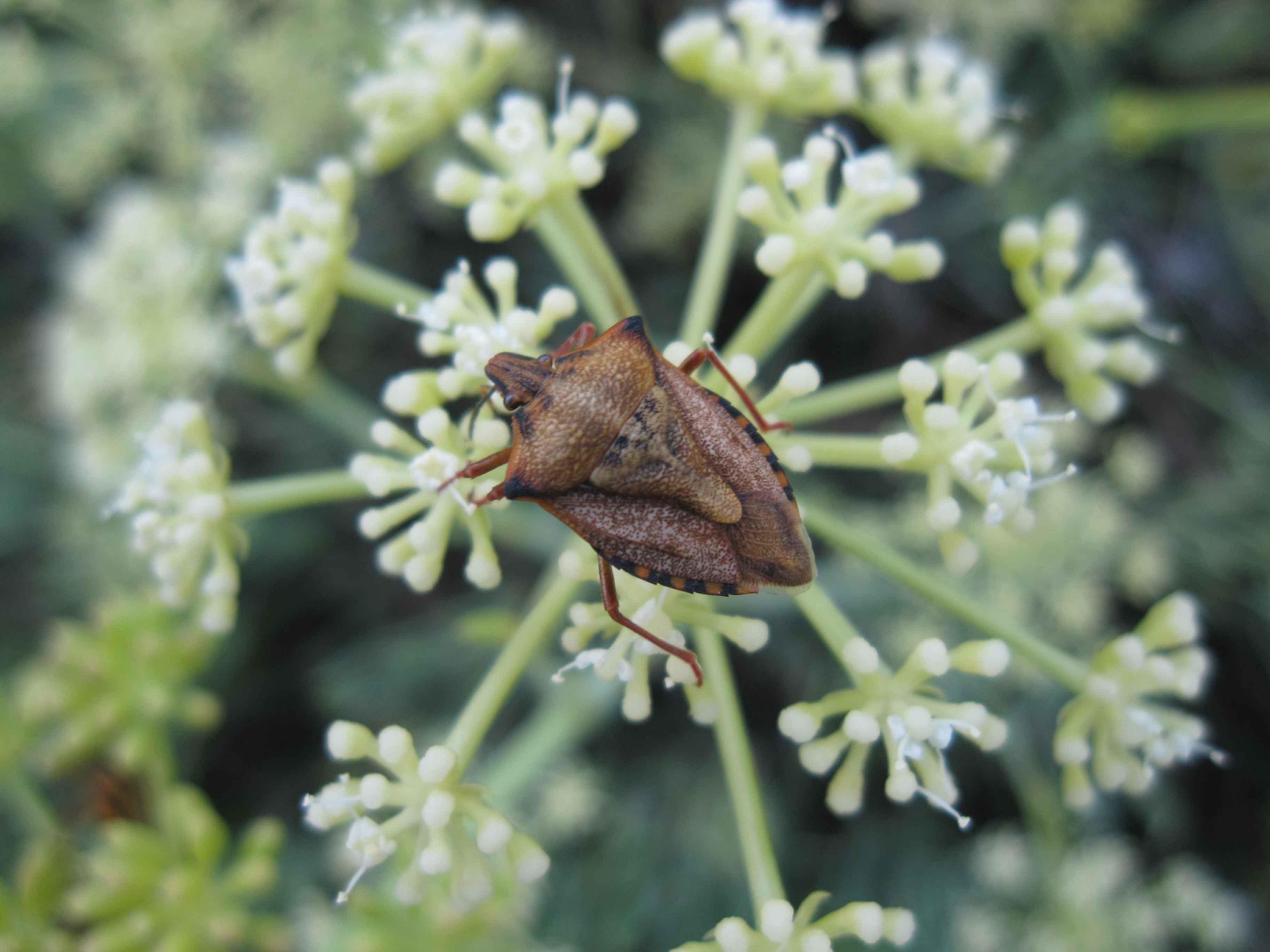 Carpocoris mediterraneus atlanticus e Graphosoma lineatum lineatum