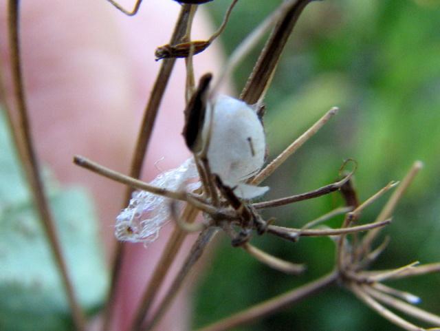 bozzolo aperto di Chrysopidae