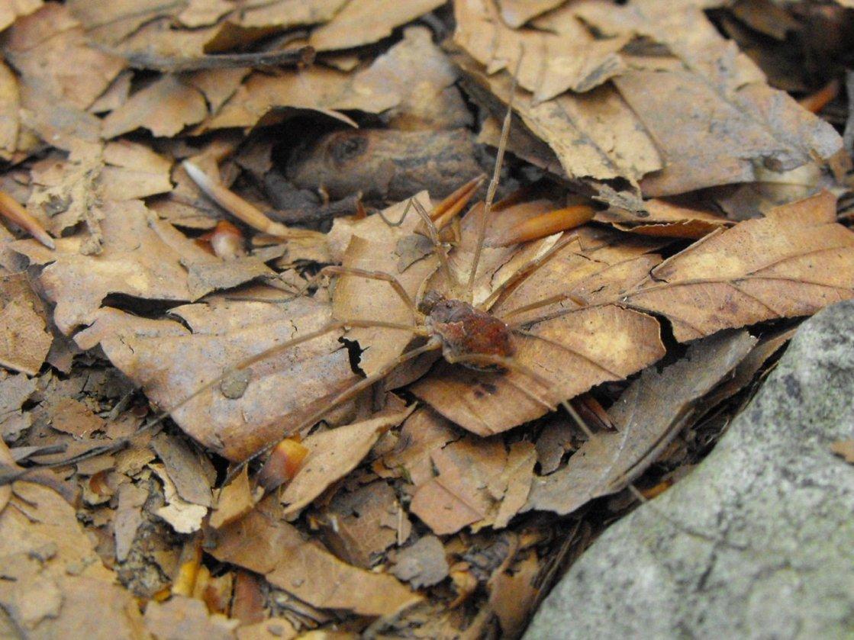 Metaphalangium cfr. cirtanum (Phalangiidae)