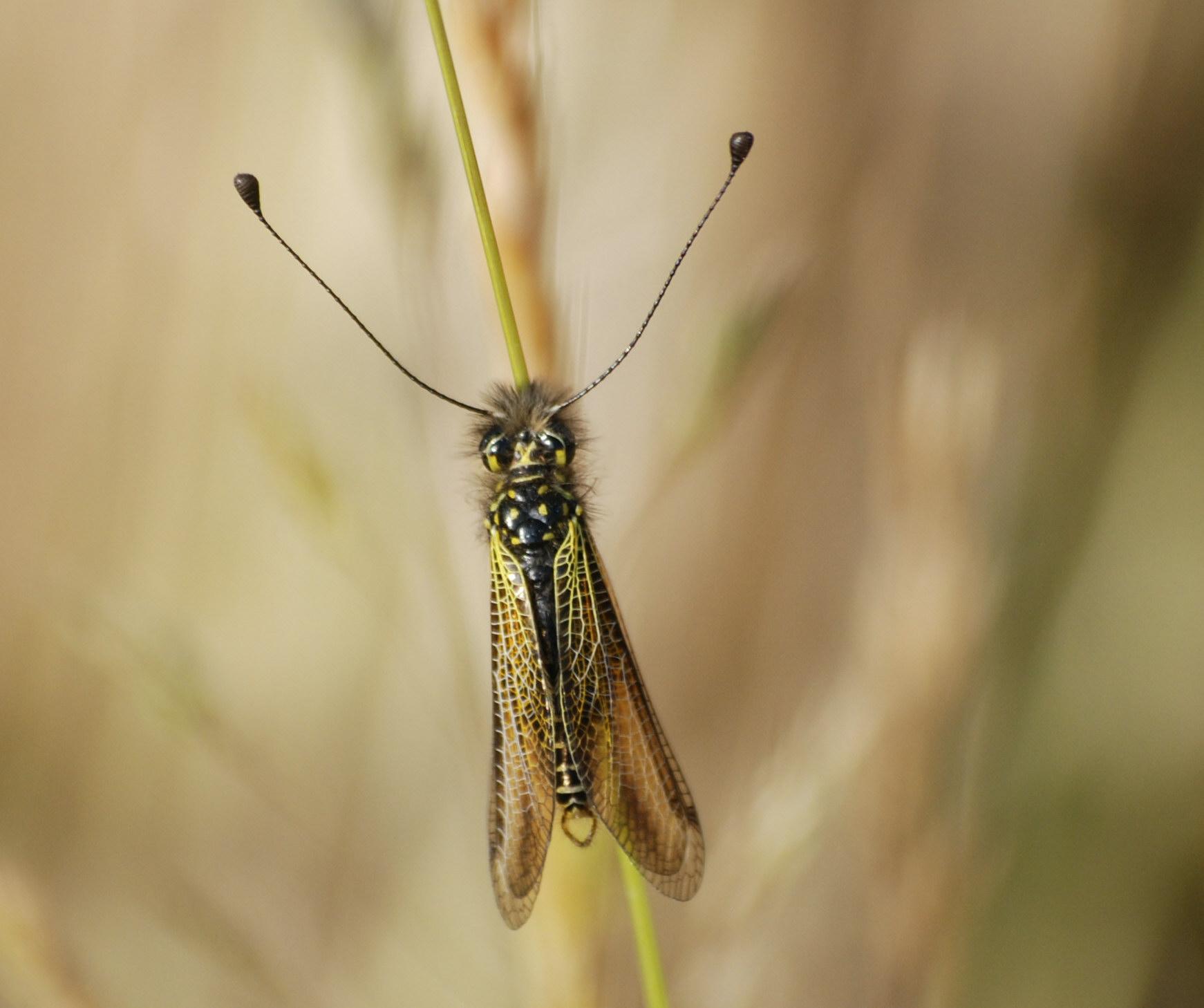 Libelloides corsicus