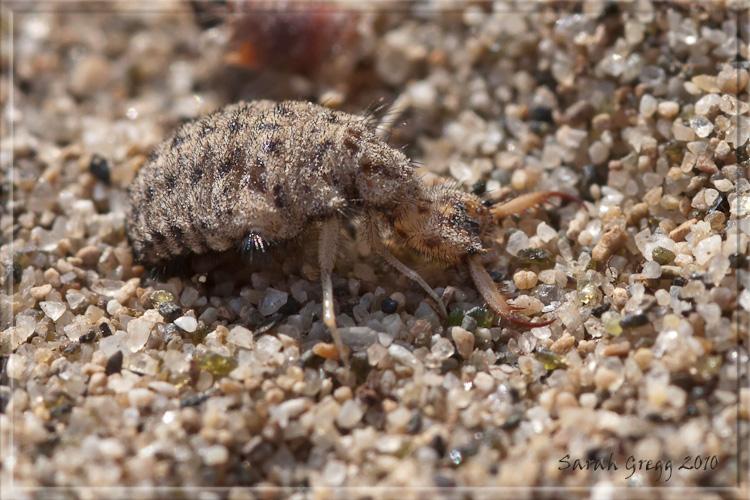 Larva di Myrmeleon cf. inconspicuus