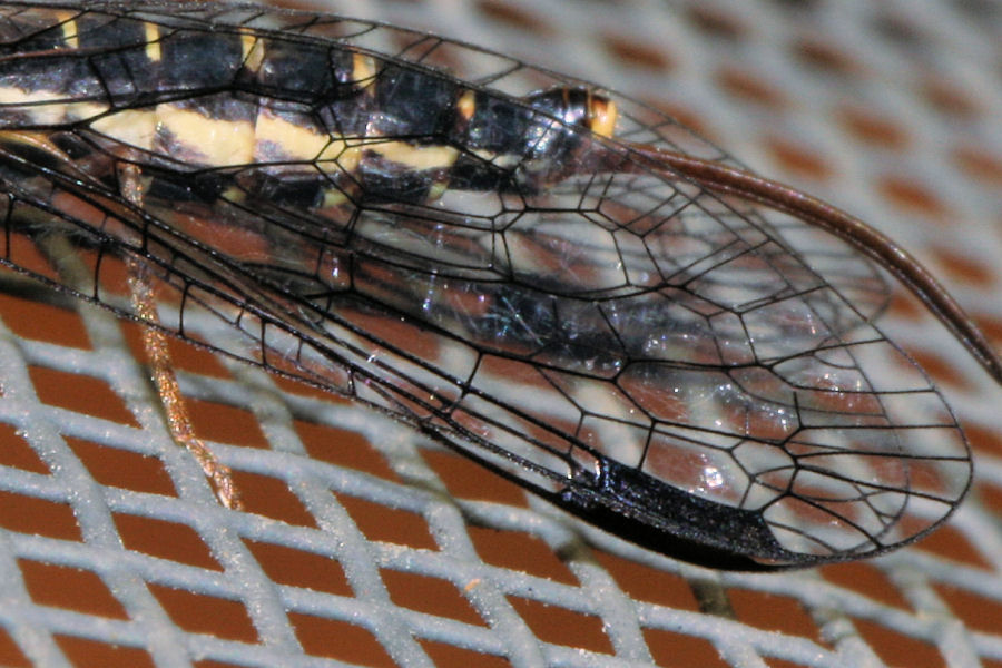 femmine di Inocellidae