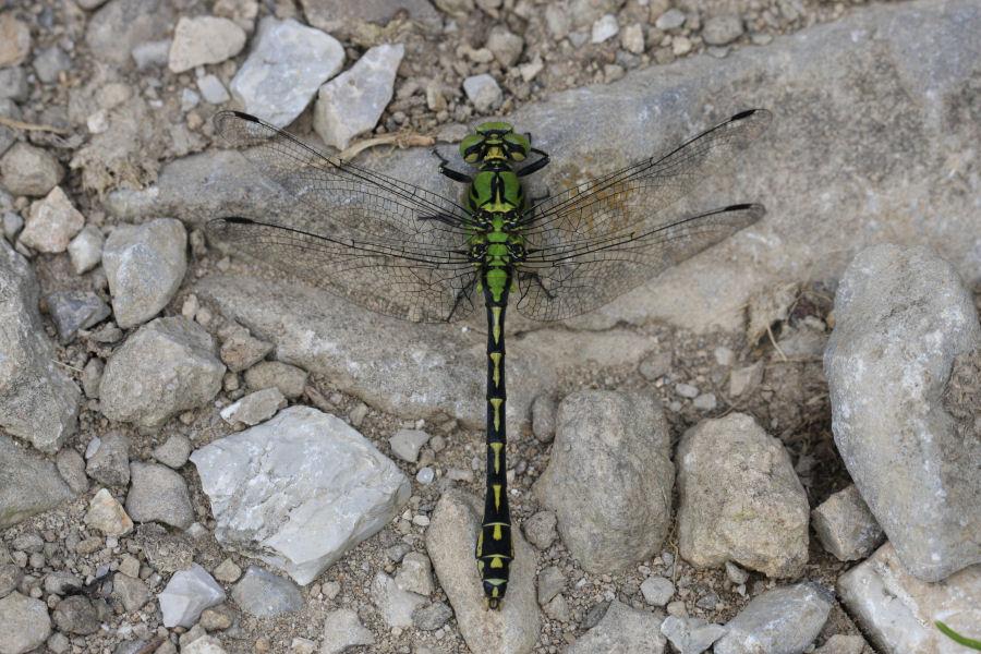 Gomphidae svizzero - Ophiogomphus cecilia
