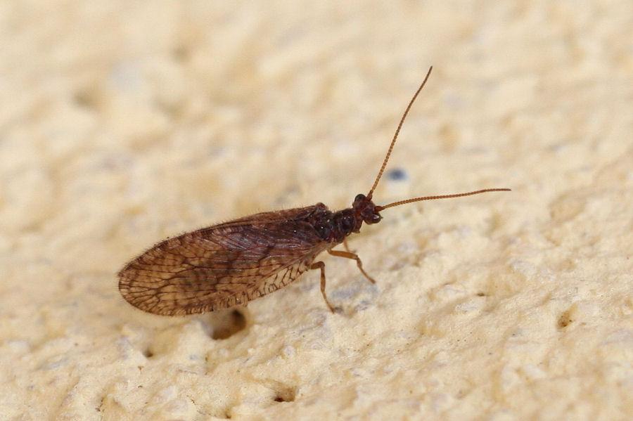 Micromus angulatus