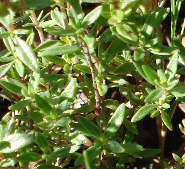 Thymus herba-barona / Timo erba barona