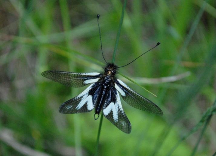 Lepidottero - No,Neurottero - Libelloides coccajus