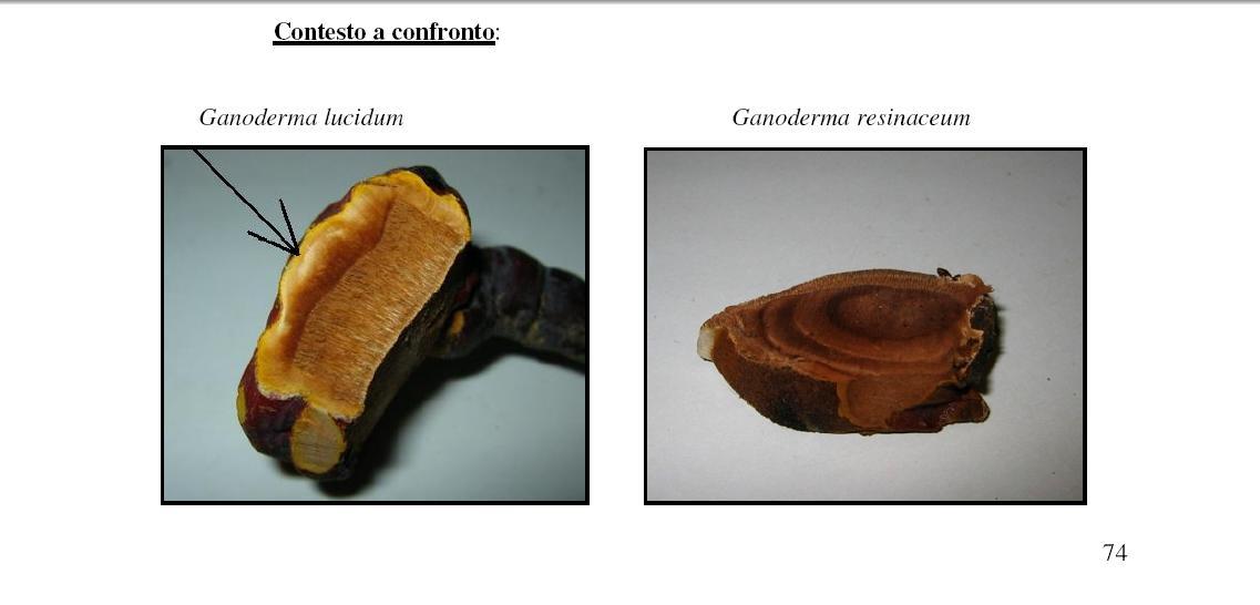 fungo coriaceo (crescita di Ganoderma sp.)