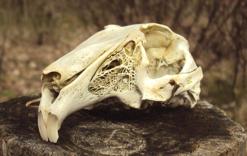 cranio: lepre?
