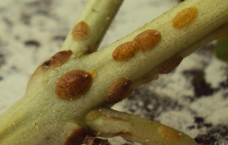 Come uova di parassiti in unocchiata di organismo