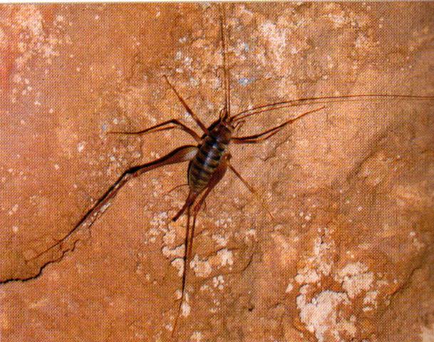 Osservata in una grotta del Ticino: Dolichopoda geniculata. Nuova per la Svizzera