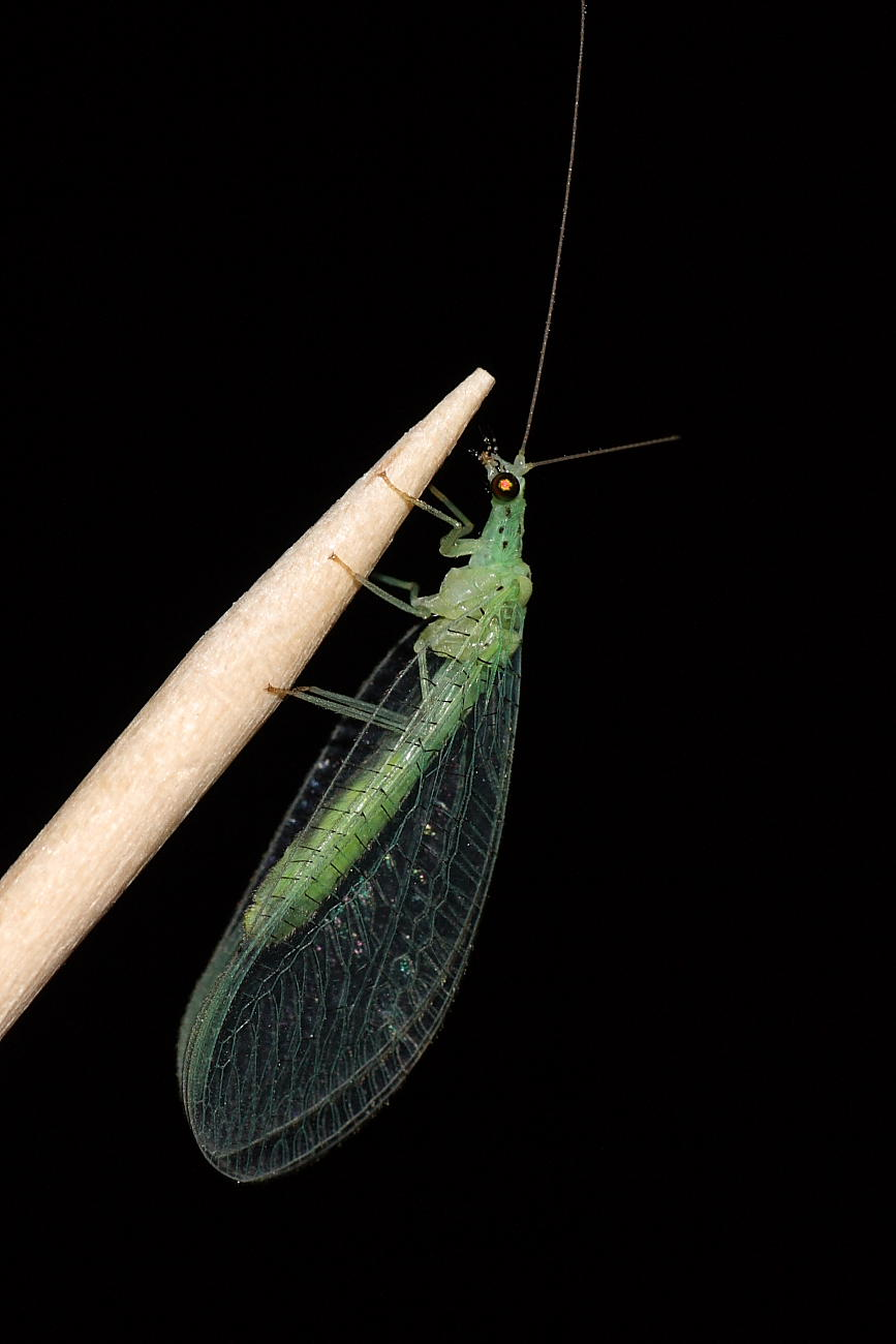 Dichochrysa sp. (femmina)