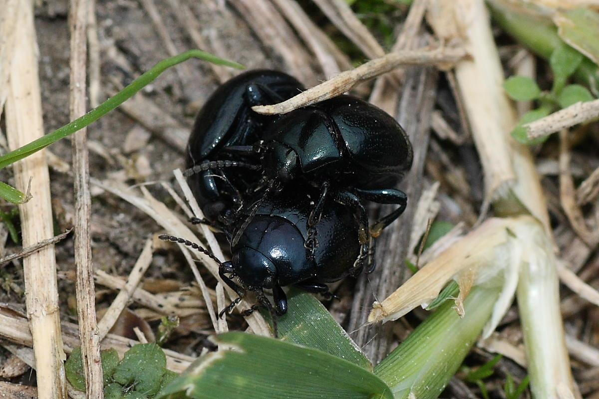 2 maschi e una femmina di Chrysolina haemoptera