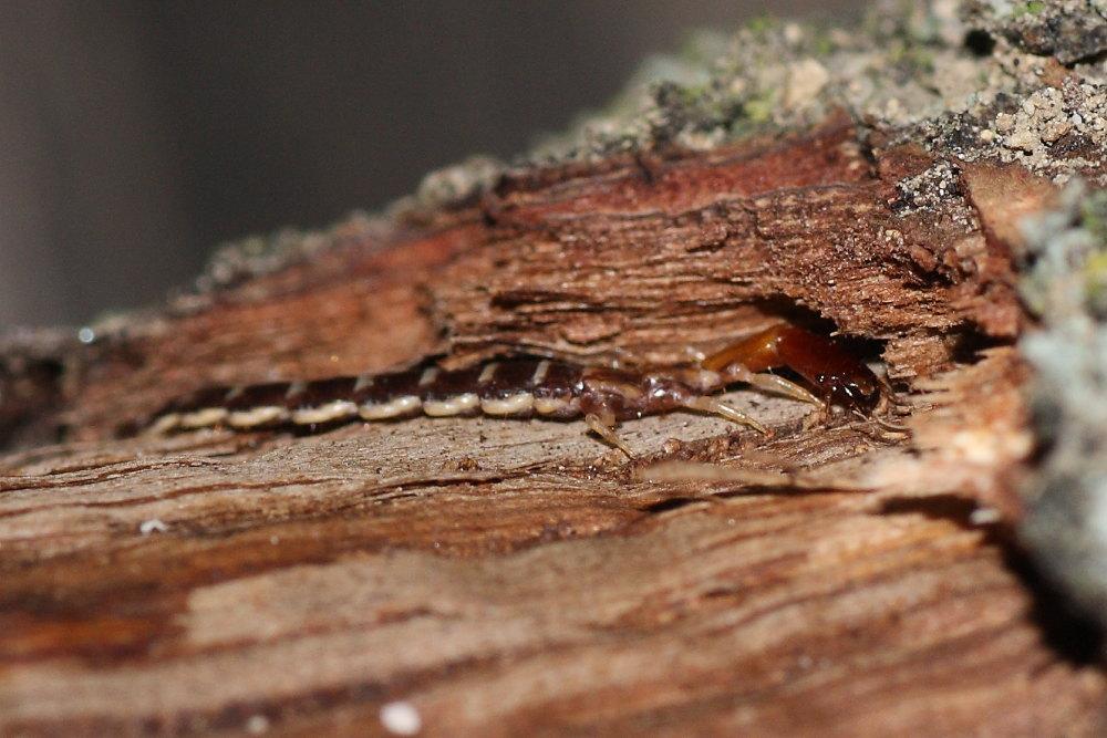 Larva di Parainocellia bicolor