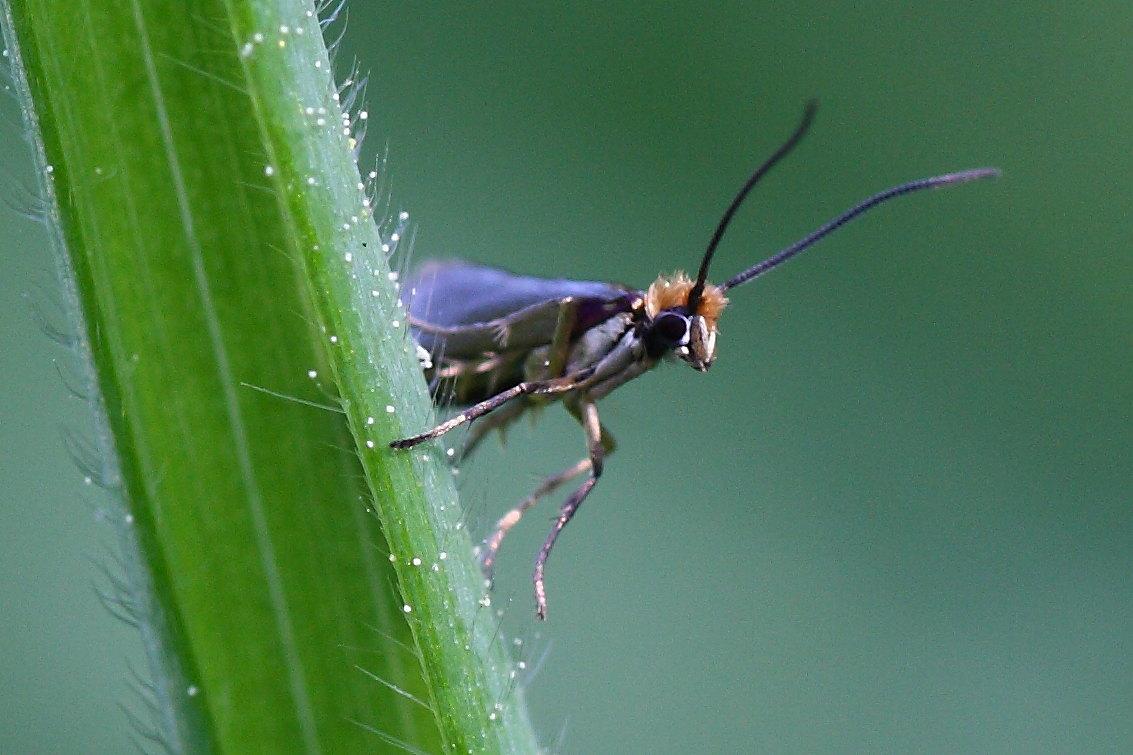 Da id - Micropterix cfr. calthella -Micropterigidae