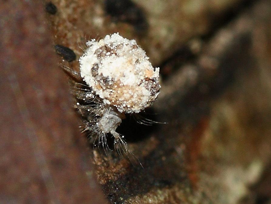 Dichochrysa: larva di II età