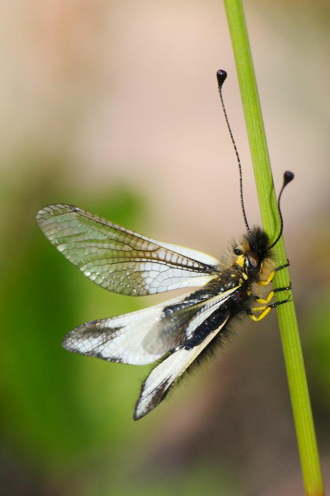 Libelloides lacteus ?