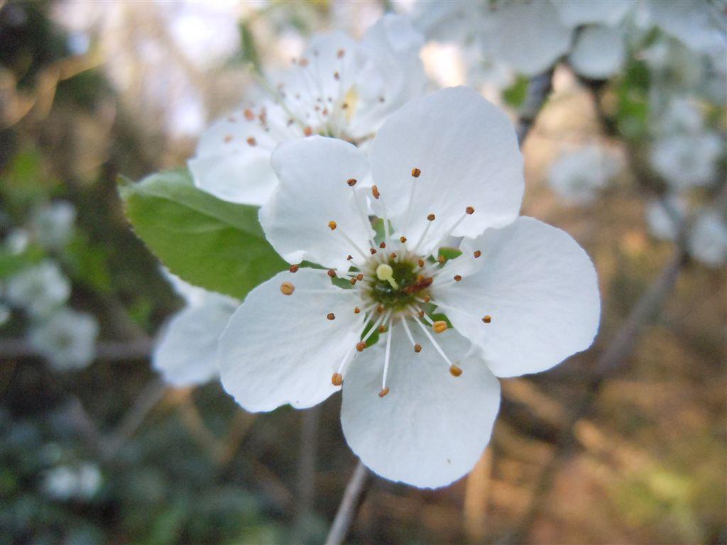 albero a fiori bianchi forum natura mediterraneo forum