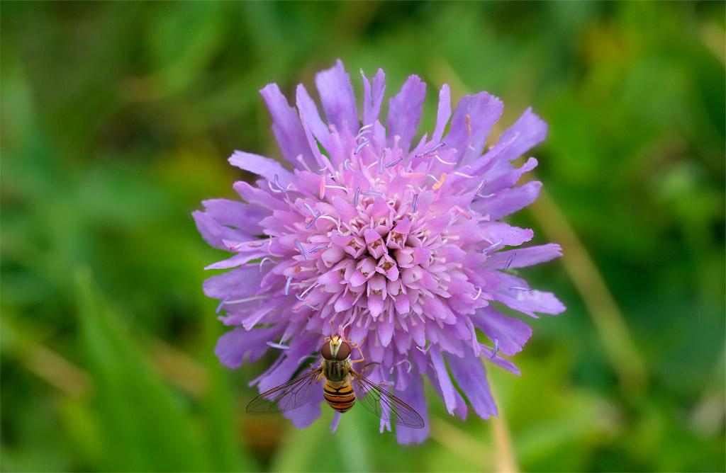 Altro fiore di campo delle dolomiti knautia sp forum for Fiori immagini e nomi