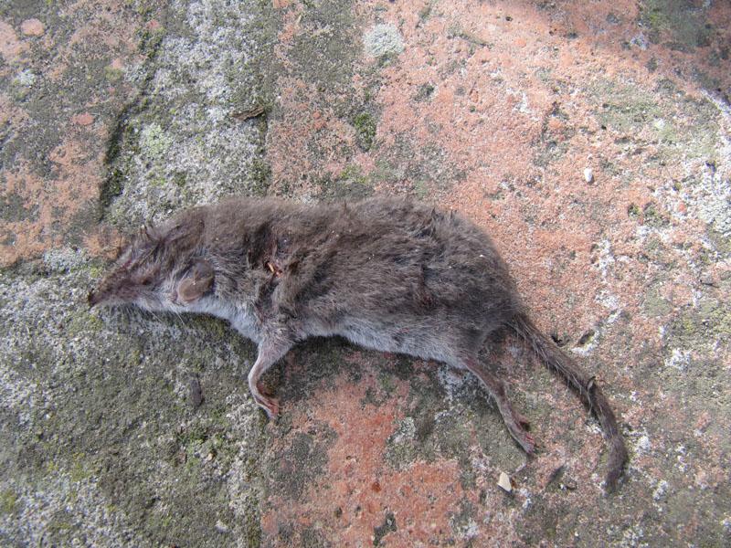 Identificazione toporagno d 39 acqua crocidura ventre - Come uccidere i topi in casa ...