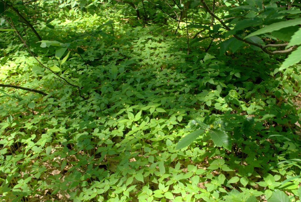 Impatiens parviflora / Balsamina minore