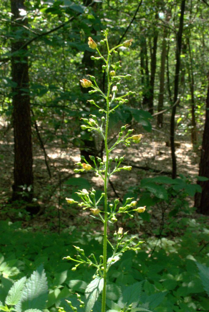 Scrophularia nodosa / Scrofularia nodosa
