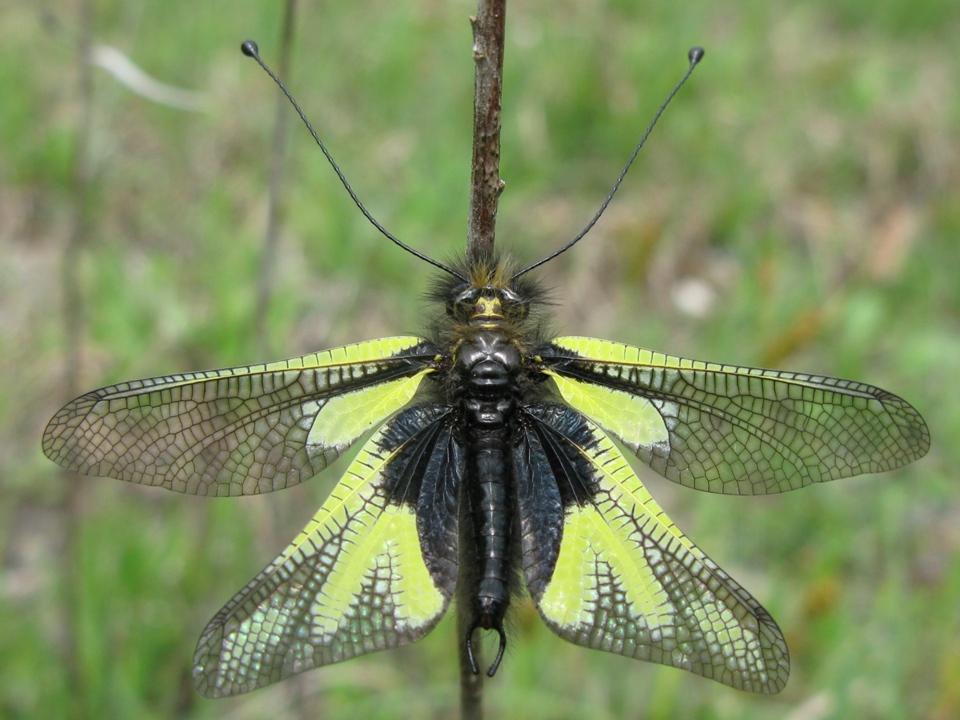 si tratta di libelloides coccajus?