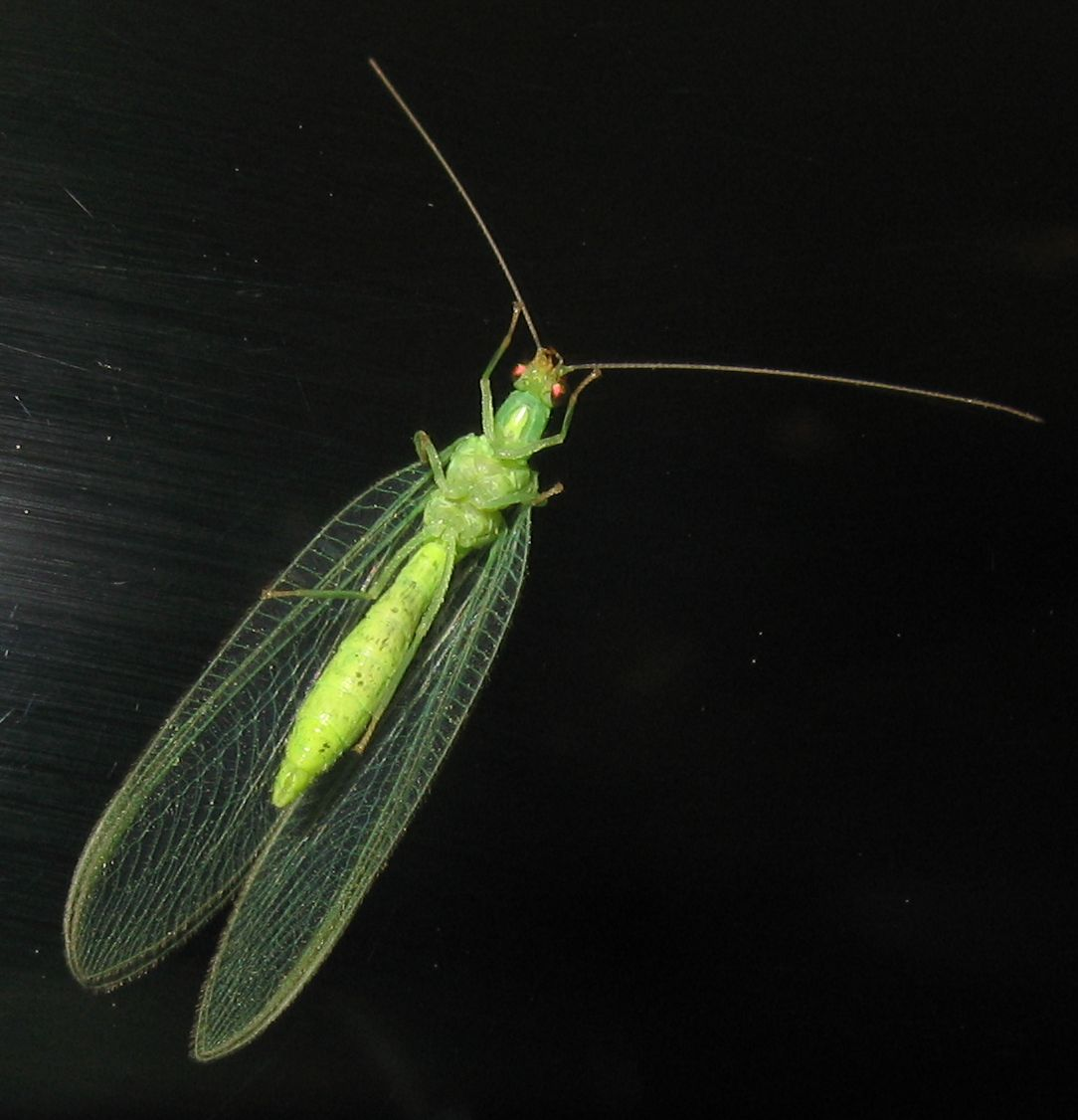 Chrysoperla pallida