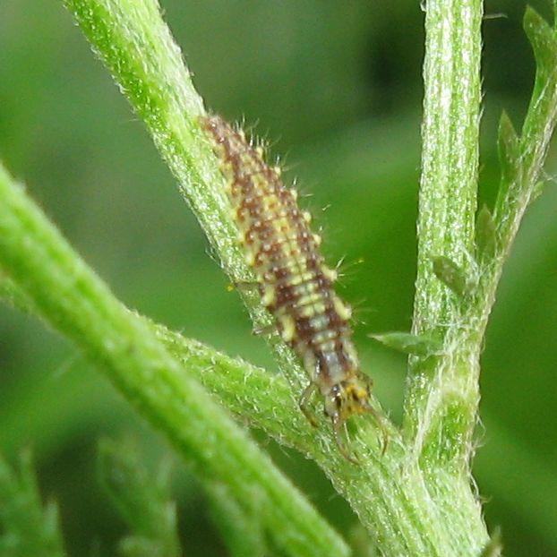 larva di Chrysoperla