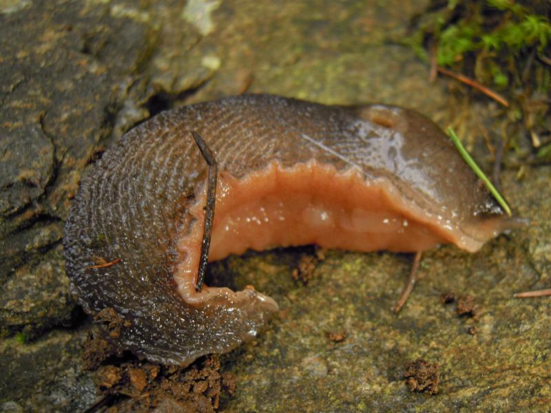 Limax corsicus-gruppo da Cosenza