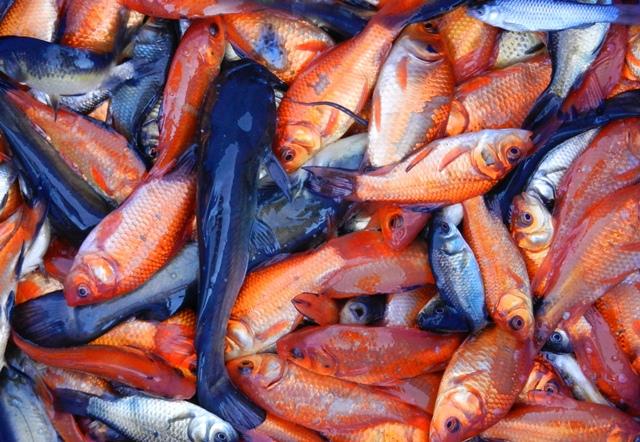 Aironi e pesci rossi forum natura mediterraneo forum for Pesci rossi piccoli