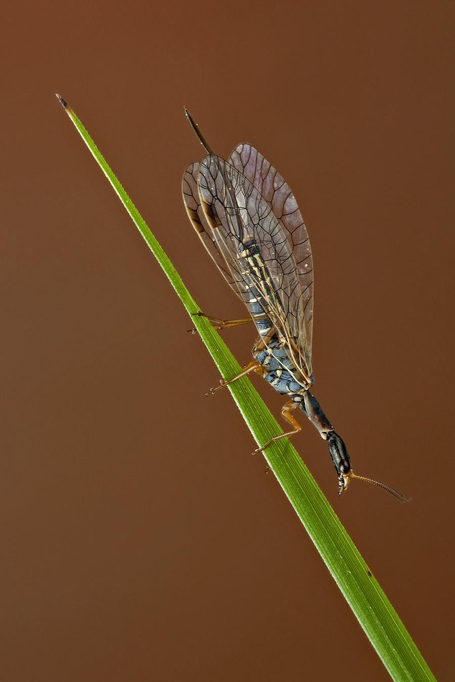 Da identificare 2 - Ornatoraphidia flavilabris