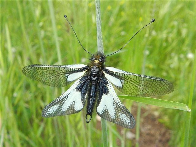 Maschio di Libelloides coccajus