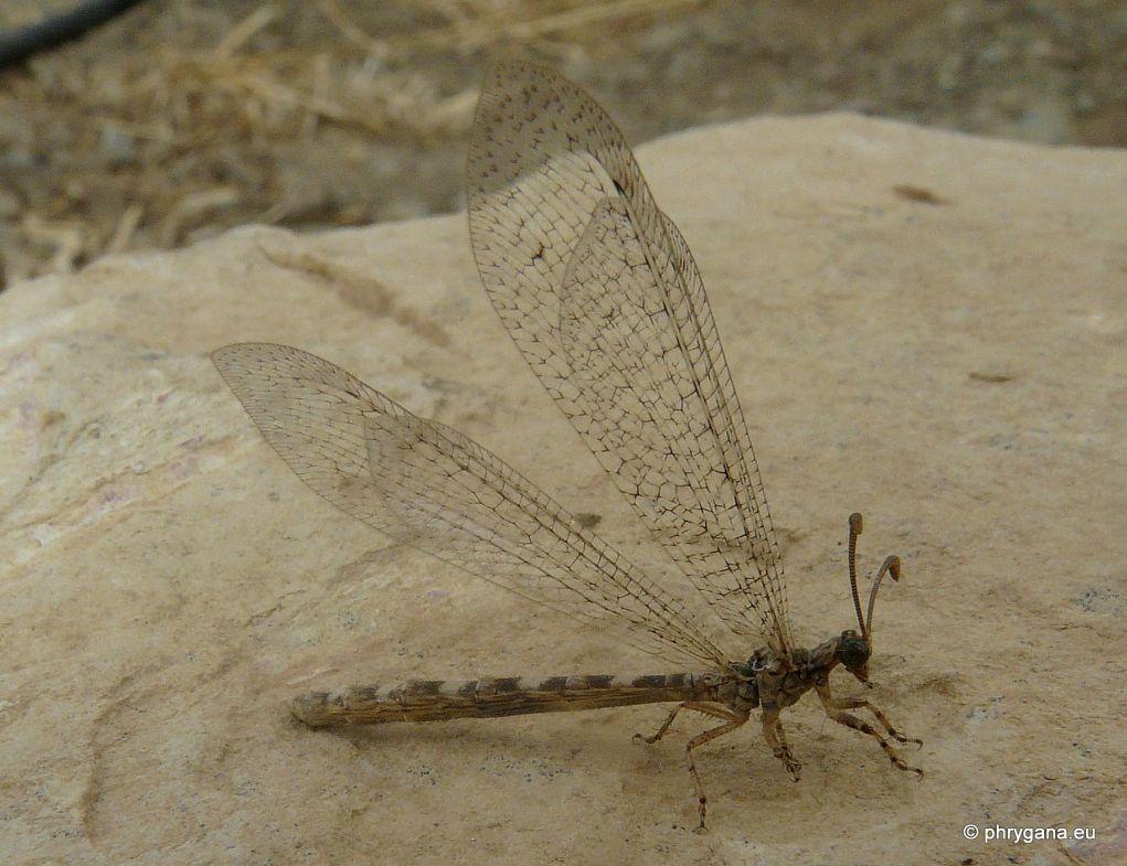 Da Creta Distoleon annulatus