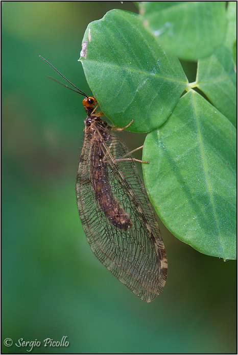 Osmylus fulvicephalus