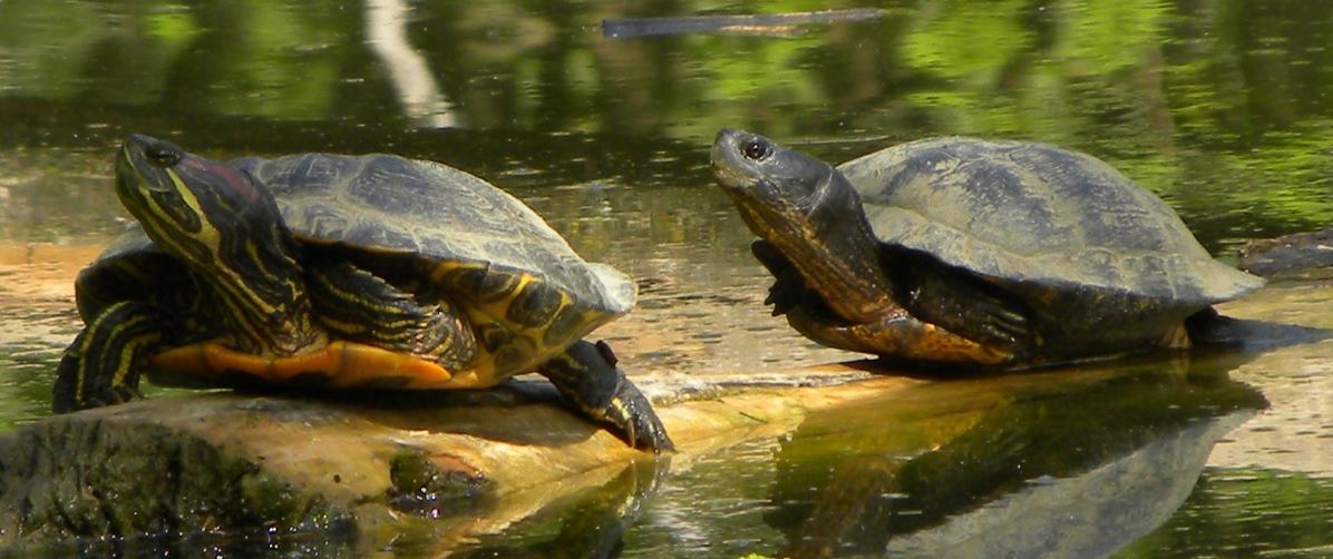 Tartarughe in un 39 oasi naturalistica forum natura for Stagno tartarughe