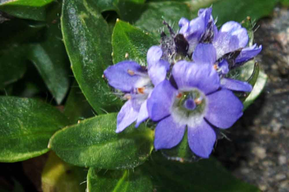 val di Champorcher - Veronica alpina anomala pentamera