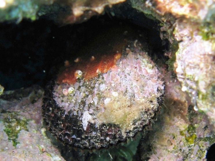 Mimachlamys varia