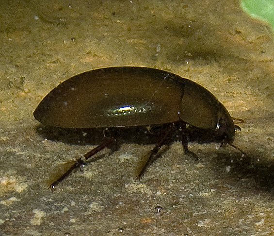 Dytiscidae? No, Hydrochara caraboides