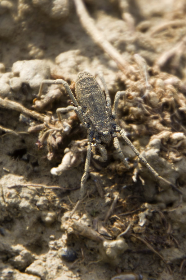 Trogulidae toscano: Trogulus coriziformis