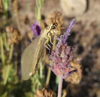 Myrmeleonidae e Chrysopidae da identificare per favore!